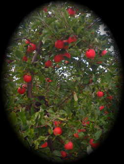 IMG_0424_apple_tree_oval.jpg