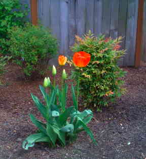 IMG_0859_on_fire_tulip.jpg