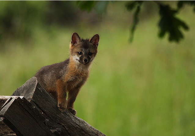 IMG_ElsterPhotography_fox_kit.jpg